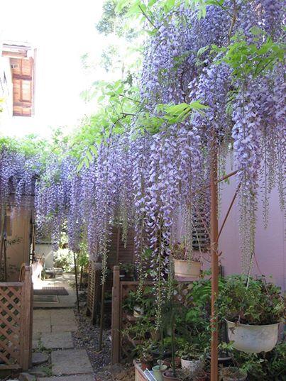 武蔵屋本店藤の花