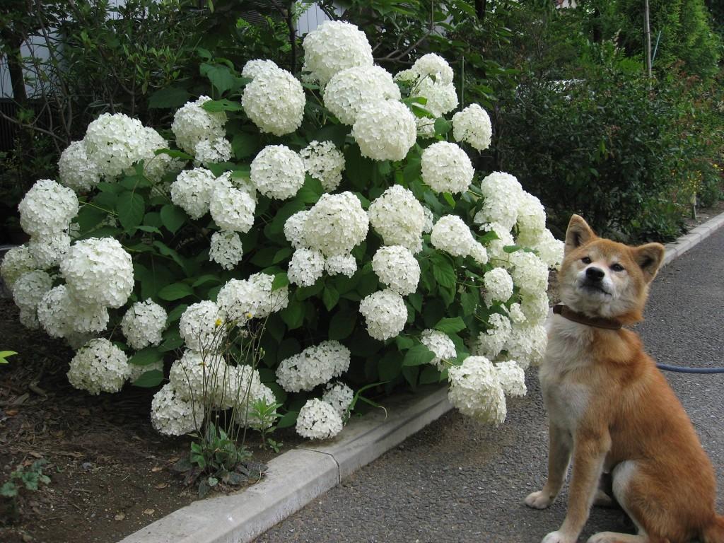 満開のアナベルと看板犬ケンタ