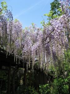藤の花2015.4.28